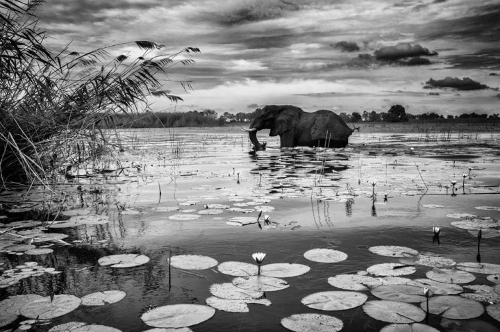 Elephant in the Lilies