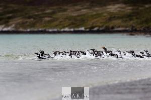 Surfing Carcass island