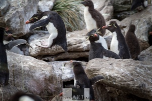 Jumping Rock-Jumper Penguin