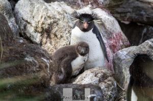 Rock-Jumper Penguins