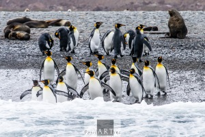Squadron of King Penguins readying to dive