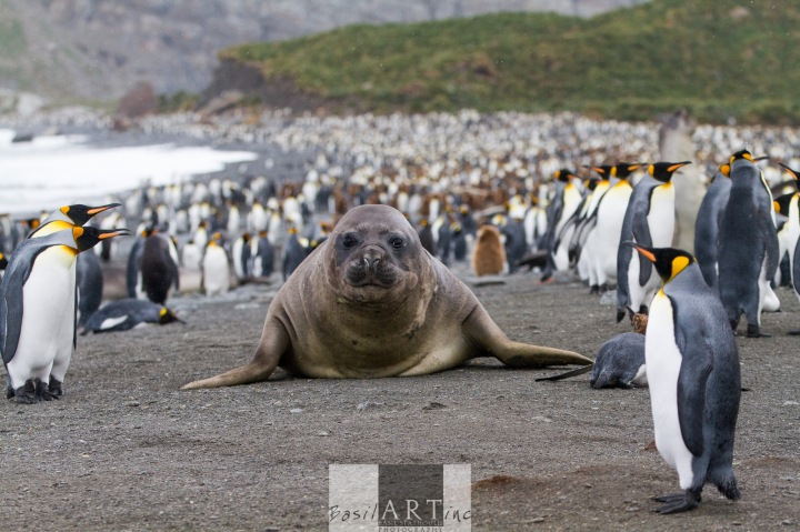 Southern Elephant Seal amongst the King Penguins