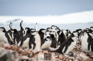 Reaching for the sky: Chinstrap penguins