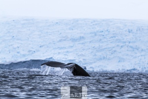 Humpback Diving in front of a glacier wall