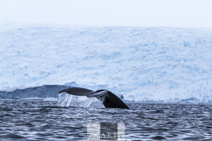 A digital picture that makes me smile: Humpback diving in front of a glacier wall