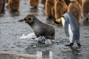 Wiener irritating a penguin