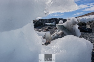 Inquisitive land birds: the Gentoo penguin